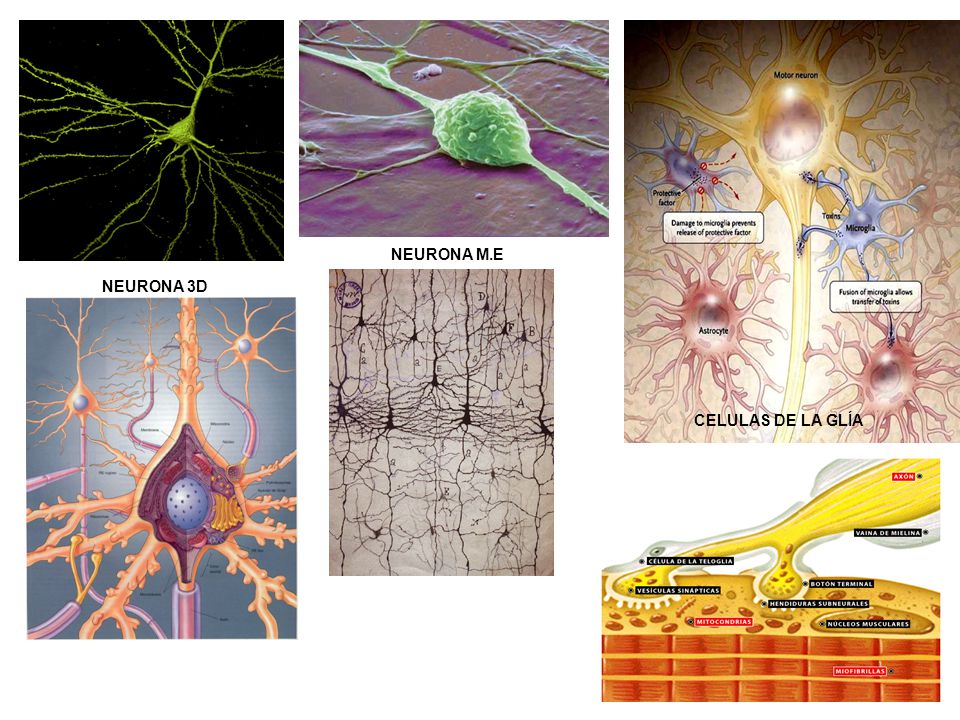 NEURONA M.E NEURONA 3D CELULAS DE LA GLÍA