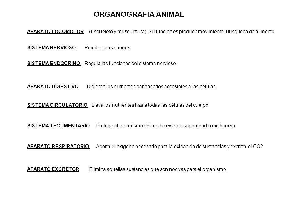 ORGANOGRAFÍA ANIMAL APARATO LOCOMOTOR