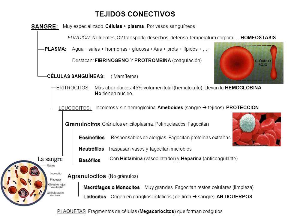 TEJIDOS CONECTIVOS SANGRE: Granulocitos Agranulocitos