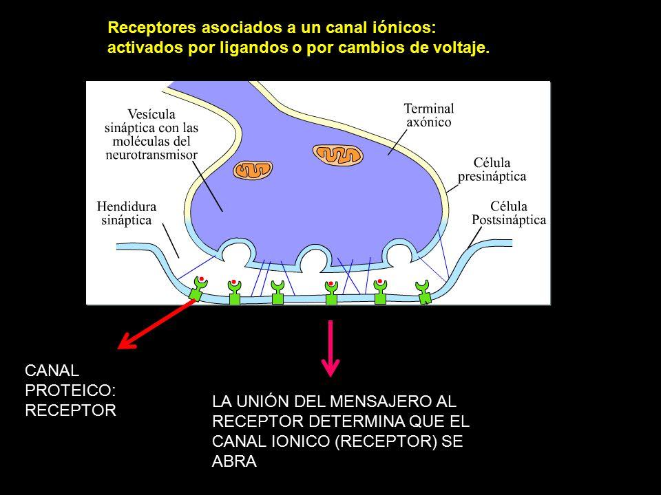 Receptores asociados a un canal iónicos: activados por ligandos o por cambios de voltaje.
