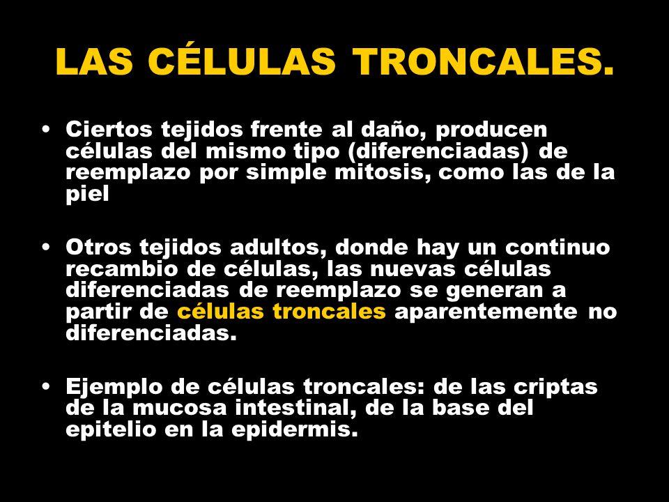 LAS CÉLULAS TRONCALES.