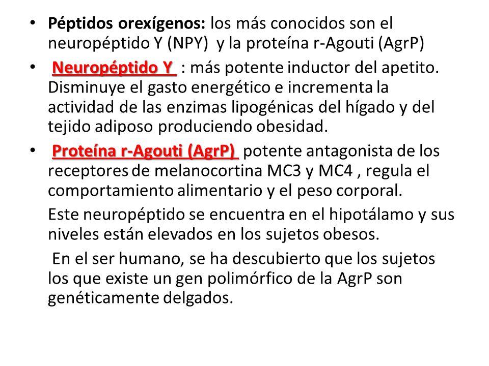 Péptidos orexígenos: los más conocidos son el neuropéptido Y (NPY) y la proteína r-Agouti (AgrP)