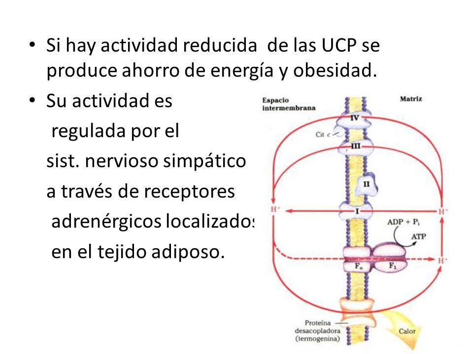 Si hay actividad reducida de las UCP se produce ahorro de energía y obesidad.
