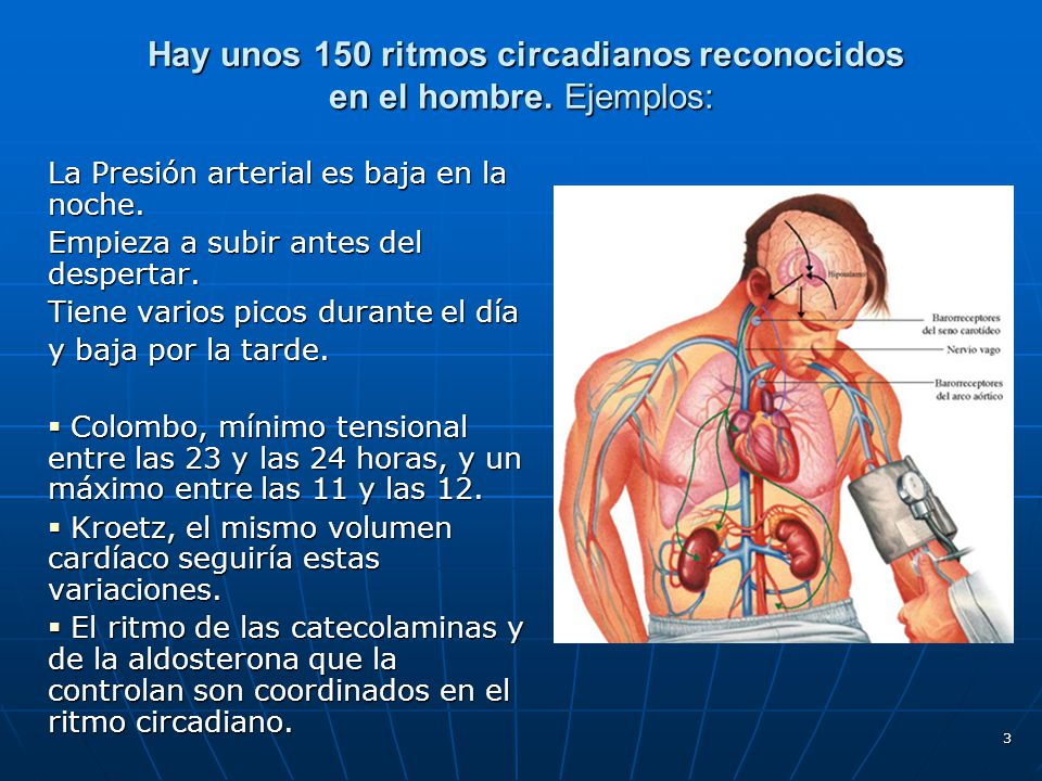 Hay unos 150 ritmos circadianos reconocidos en el hombre. Ejemplos: