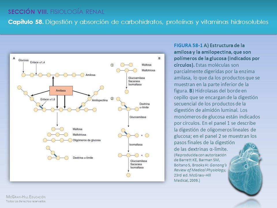 FIGURA 58-1 A) Estructura de la amilosa y la amilopectina, que son polímeros de la glucosa (indicados por círculos).