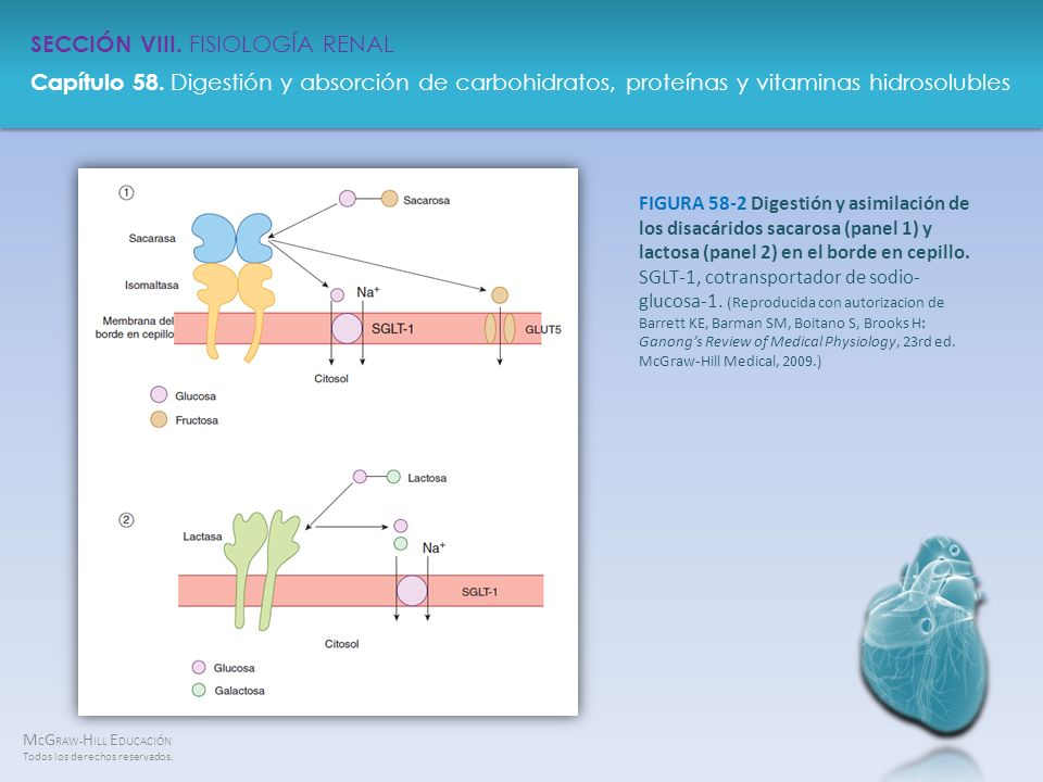 FIGURA 58-2 Digestión y asimilación de los disacáridos sacarosa (panel 1) y lactosa (panel 2) en el borde en cepillo.