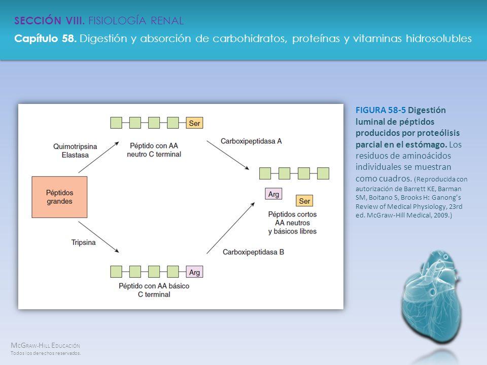 FIGURA 58-5 Digestión luminal de péptidos producidos por proteólisis parcial en el estómago.