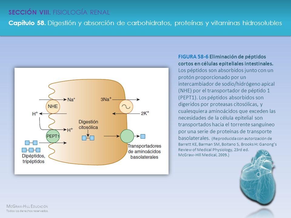 FIGURA 58-6 Eliminación de péptidos cortos en células epiteliales intestinales.