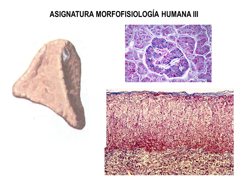 ASIGNATURA MORFOFISIOLOGÍA HUMANA III