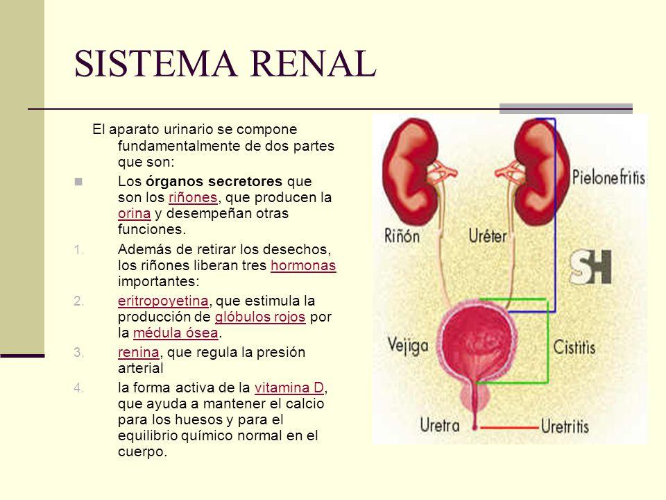 SISTEMA RENAL El aparato urinario se compone fundamentalmente de dos partes que son:
