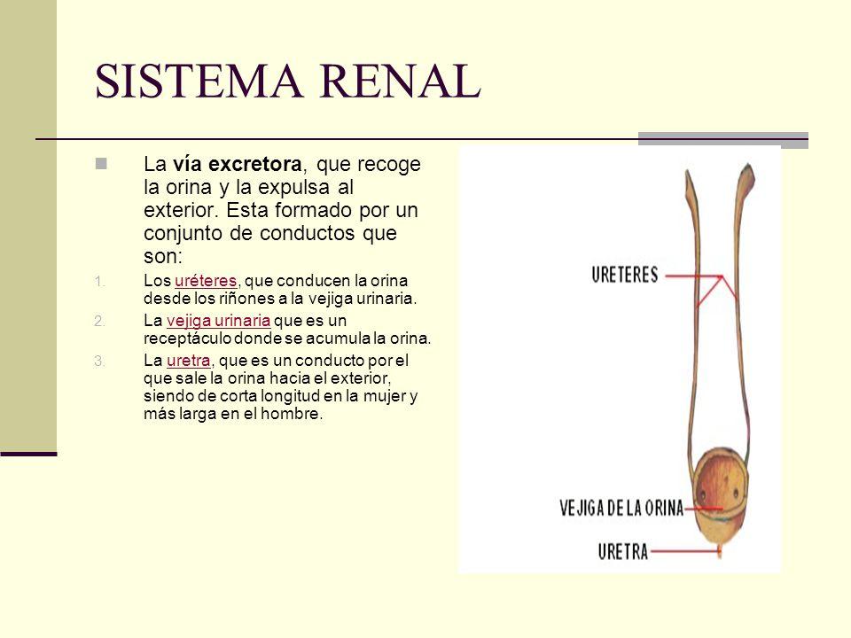 SISTEMA RENAL La vía excretora, que recoge la orina y la expulsa al exterior. Esta formado por un conjunto de conductos que son: