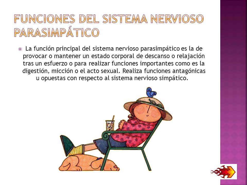 Funciones del sistema nervioso parasimpático