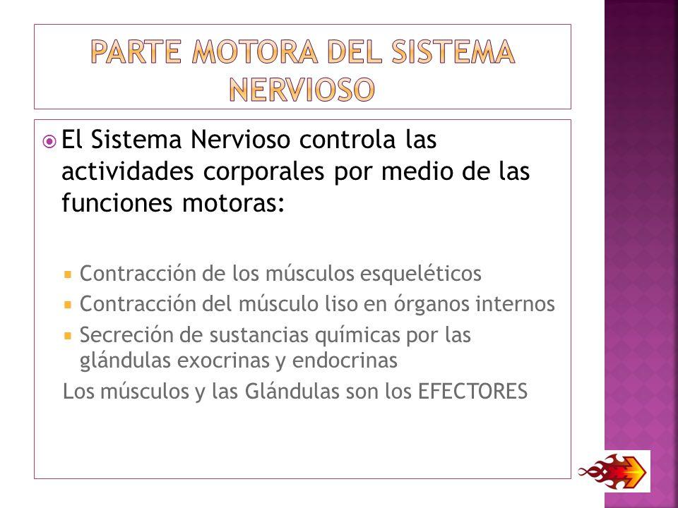 PARTE MOTORA DEL Sistema NERVIOSO