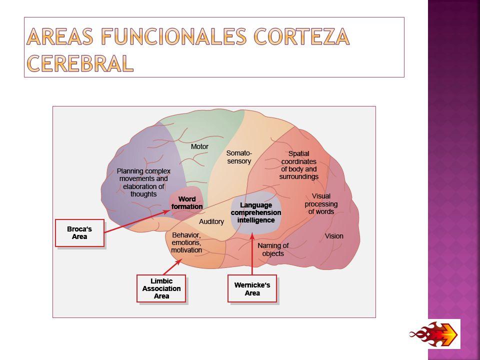 AREAS FUNCIONALES CORTEZA CEREBRAL