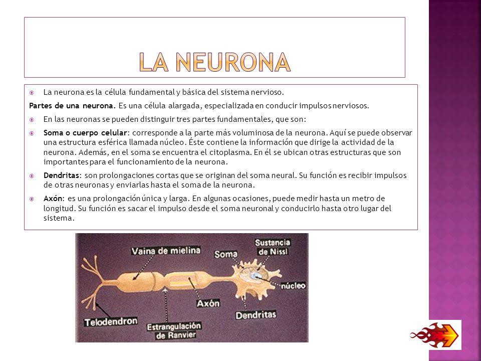 La neurona La neurona es la célula fundamental y básica del sistema nervioso.