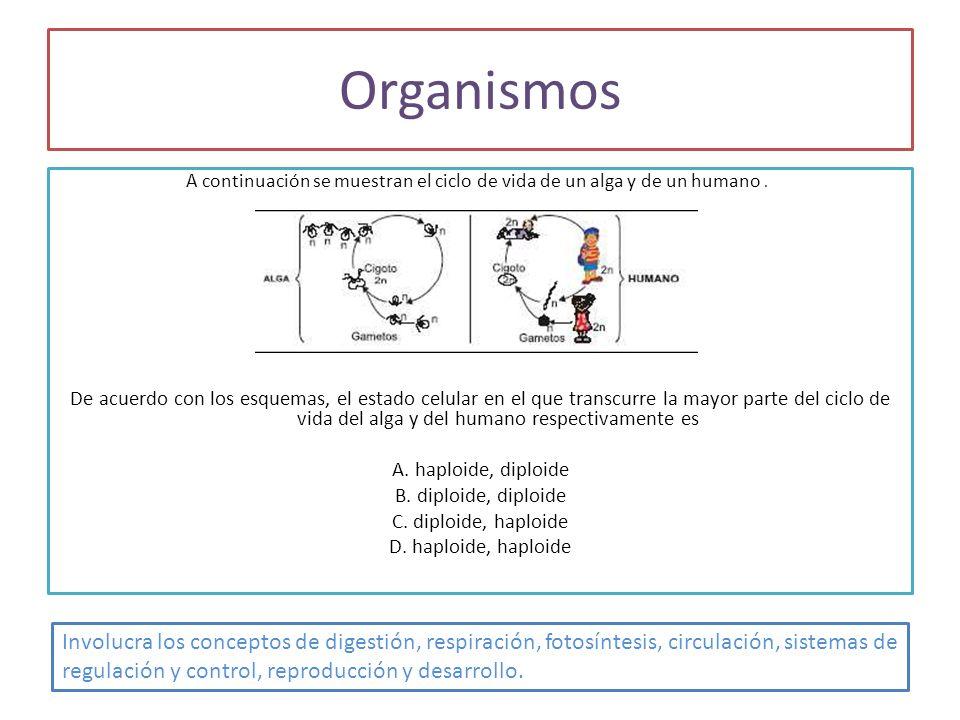 Organismos A continuación se muestran el ciclo de vida de un alga y de un humano .