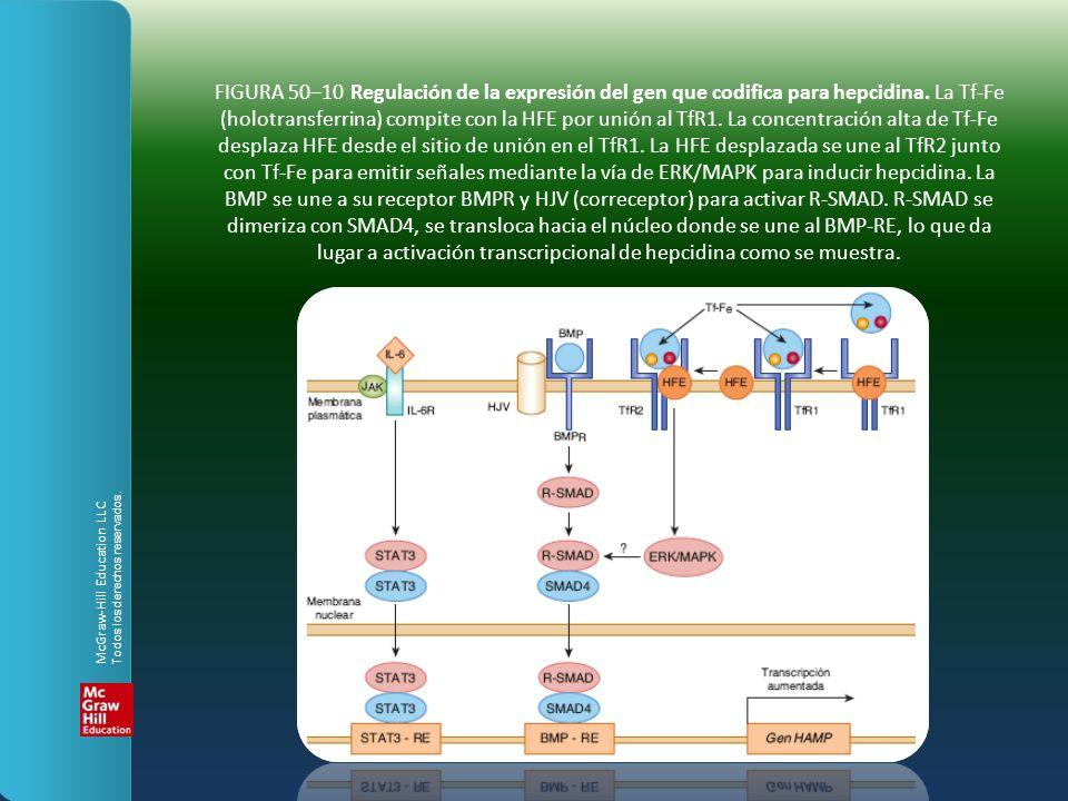 FIGURA 50–10 Regulación de la expresión del gen que codifica para hepcidina. La Tf-Fe (holotransferrina) compite con la HFE por unión al TfR1. La concentración alta de Tf-Fe desplaza HFE desde el sitio de unión en el TfR1. La HFE desplazada se une al TfR2 junto con Tf-Fe para emitir señales mediante la vía de ERK/MAPK para inducir hepcidina. La BMP se une a su receptor BMPR y HJV (correceptor) para activar R-SMAD. R-SMAD se dimeriza con SMAD4, se transloca hacia el núcleo donde se une al BMP-RE, lo que da lugar a activación transcripcional de hepcidina como se muestra.
