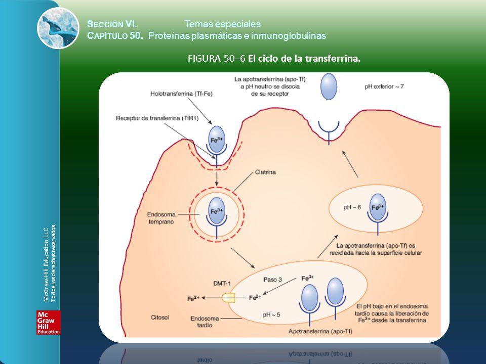 FIGURA 50–6 El ciclo de la transferrina.