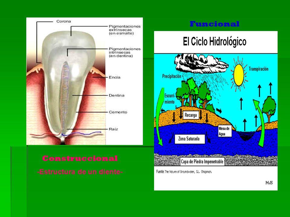 -Estructura de un diente-
