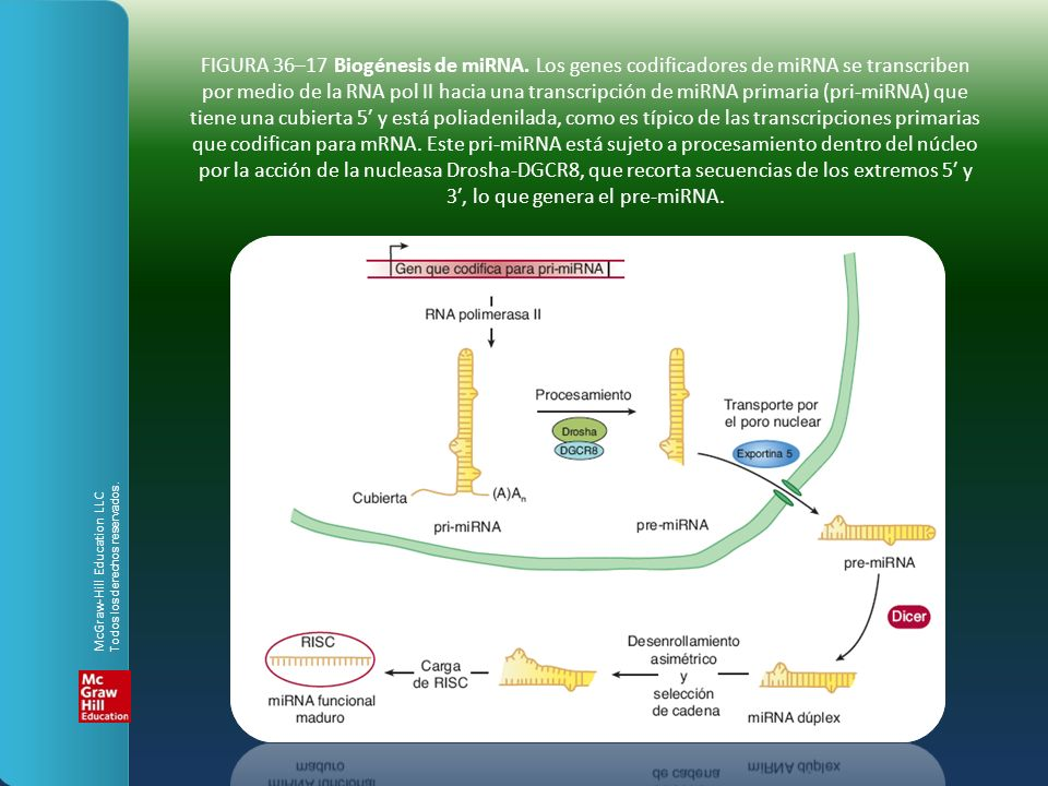 FIGURA 36–17 Biogénesis de miRNA