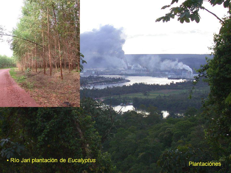 Río Jari plantación de Eucalyptus Plantaciónes