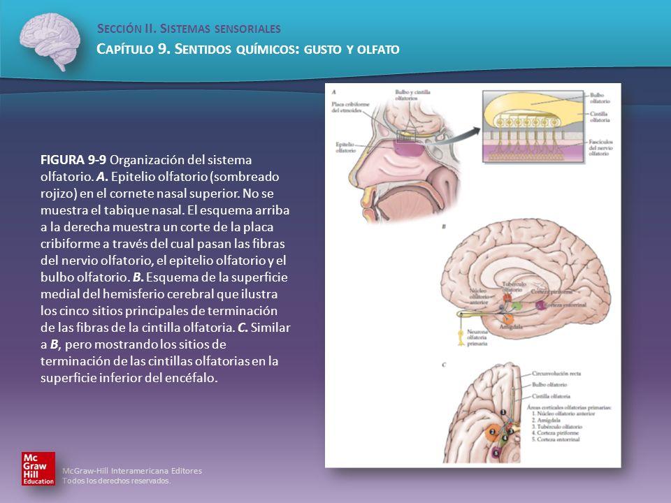 FIGURA 9-9 Organización del sistema olfatorio. A