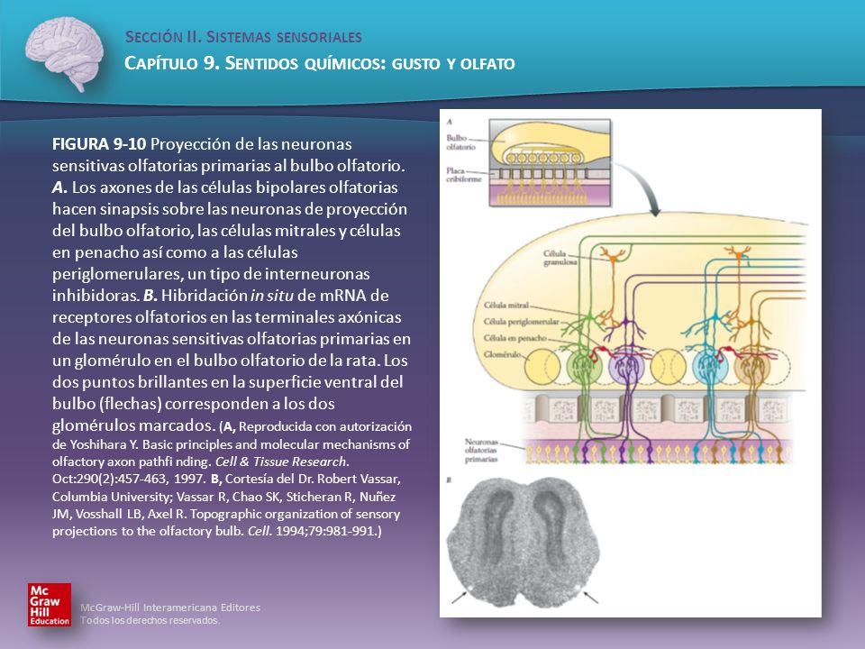 FIGURA 9-10 Proyección de las neuronas sensitivas olfatorias primarias al bulbo olfatorio.
