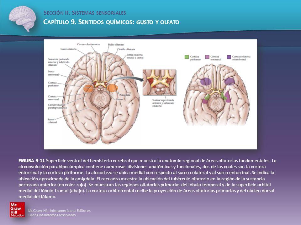 FIGURA 9-11 Superficie ventral del hemisferio cerebral que muestra la anatomía regional de áreas olfatorias fundamentales.