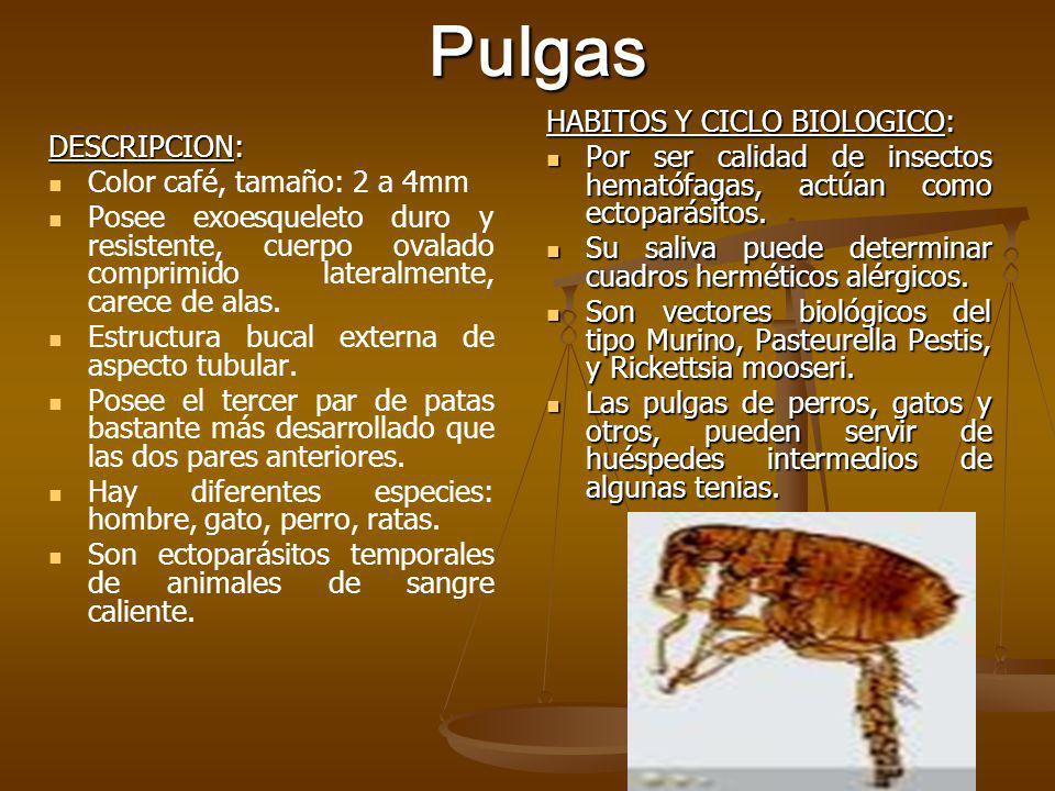 Pulgas HABITOS Y CICLO BIOLOGICO: