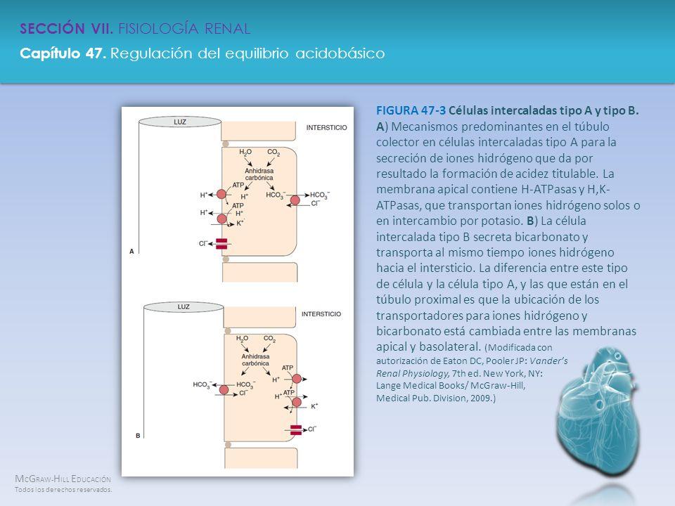 FIGURA 47-3 Células intercaladas tipo A y tipo B