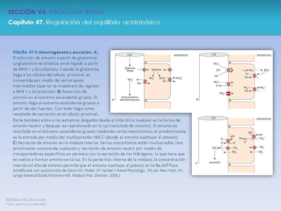FIGURA 47-5 Amoniagénesis y excreción
