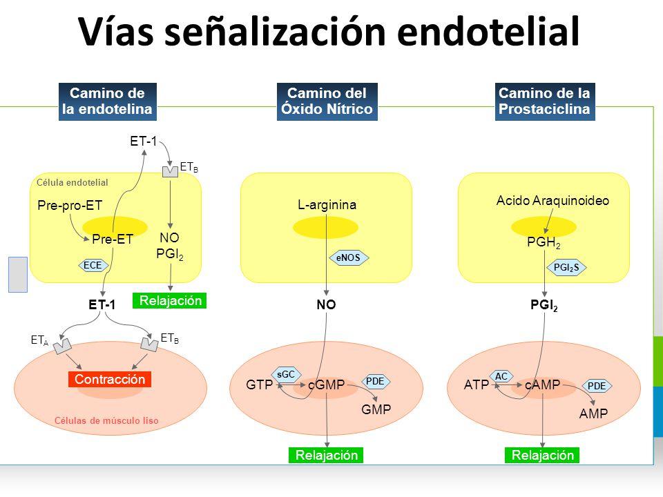 Vías señalización endotelial