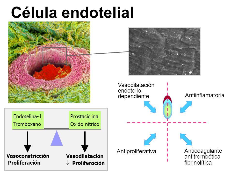 Célula endotelial Vasodilatación endotelio- dependiente