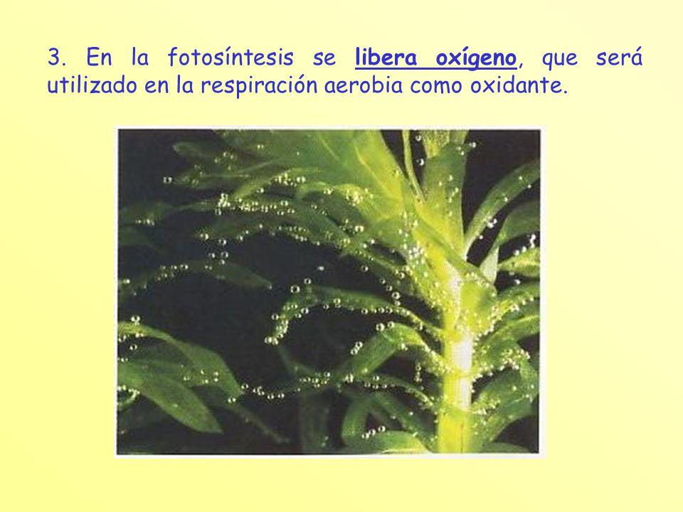 3. En la fotosíntesis se libera oxígeno, que será utilizado en la respiración aerobia como oxidante.