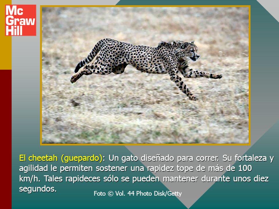 El cheetah (guepardo): Un gato diseñado para correr