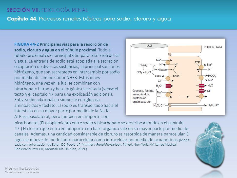 FIGURA 44-2 Principales vías para la resorción de sodio, cloruro y agua en el túbulo proximal. Todo el túbulo proximal es el principal sitio para resorción de sal y agua. La entrada de sodio está acoplada a la secreción o captación de diversas sustancias; la principal son iones hidrógeno, que son secretados en intercambio por sodio por medio del antiportador NHE3. Estos iones hidrógeno, una vez en la luz, se combinan con bicarbonato filtrado y base orgánica secretada (véase el texto y el capítulo 47 para una explicación adicional). Entra sodio adicional en simporte con glucosa, aminoácidos y fosfato. El sodio es transportado hacia el intersticio en su mayor parte por medio de la Na,K-ATPasa basolateral, pero también en simporte con