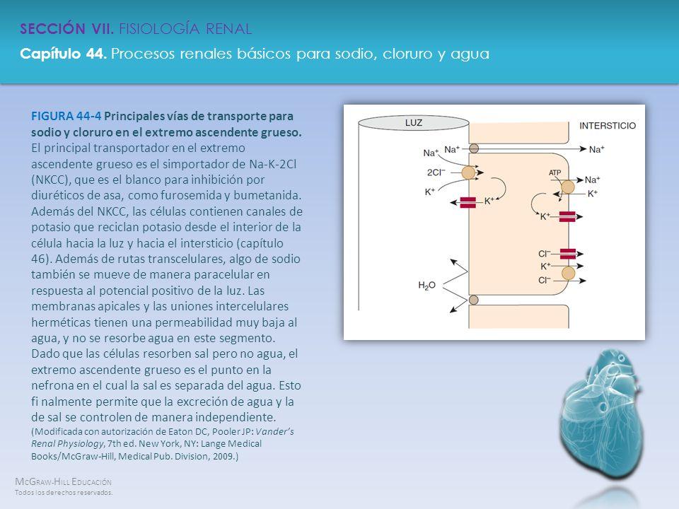 FIGURA 44-4 Principales vías de transporte para sodio y cloruro en el extremo ascendente grueso.