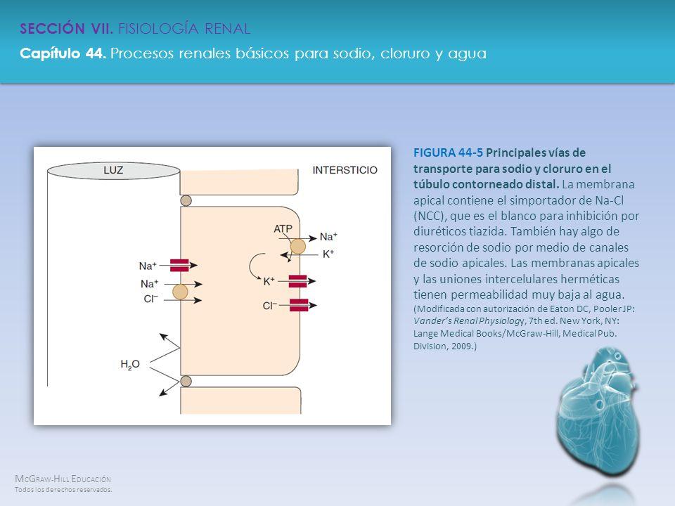 FIGURA 44-5 Principales vías de transporte para sodio y cloruro en el túbulo contorneado distal.