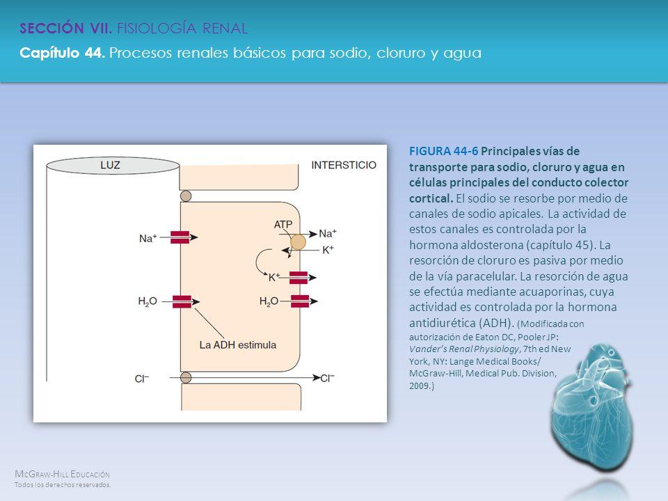 FIGURA 44-6 Principales vías de transporte para sodio, cloruro y agua en células principales del conducto colector cortical.