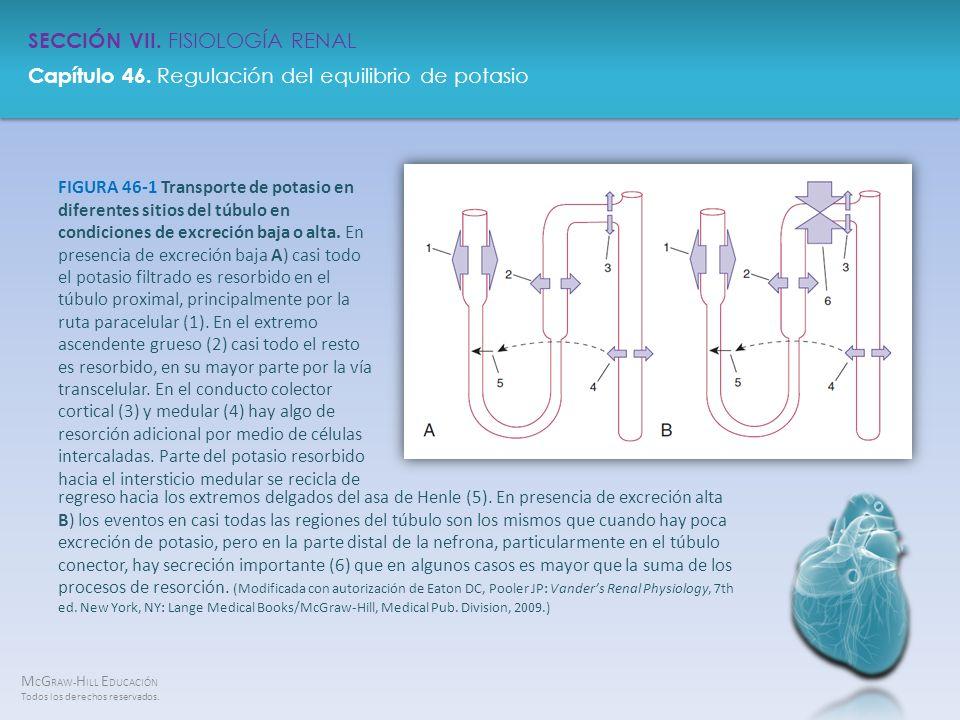 FIGURA 46-1 Transporte de potasio en diferentes sitios del túbulo en condiciones de excreción baja o alta. En presencia de excreción baja A) casi todo el potasio filtrado es resorbido en el túbulo proximal, principalmente por la ruta paracelular (1). En el extremo ascendente grueso (2) casi todo el resto es resorbido, en su mayor parte por la vía transcelular. En el conducto colector cortical (3) y medular (4) hay algo de resorción adicional por medio de células intercaladas. Parte del potasio resorbido hacia el intersticio medular se recicla de