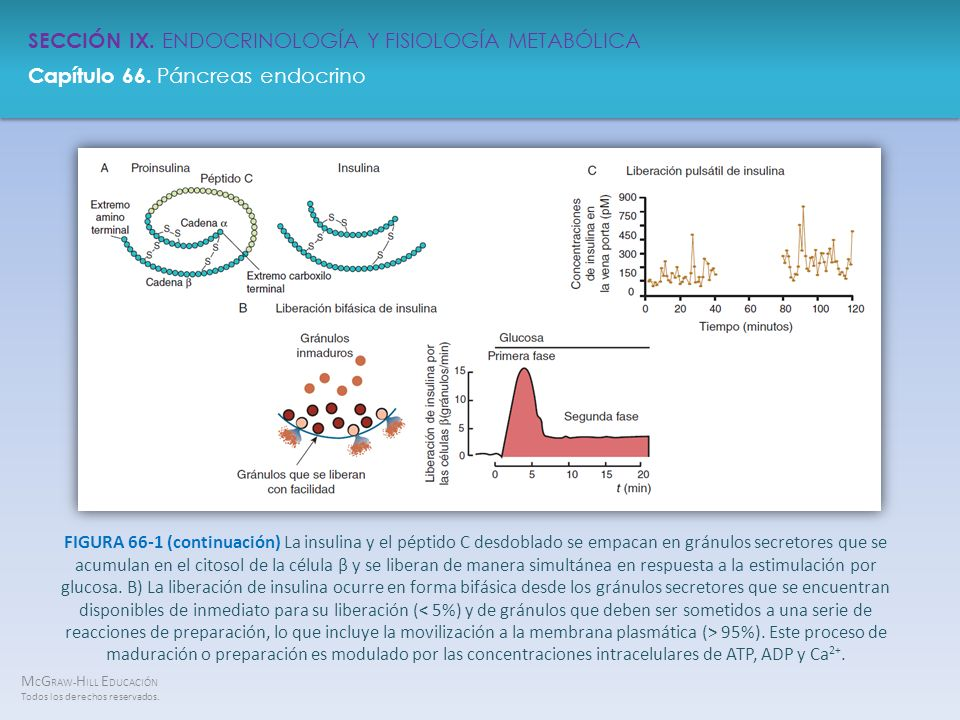 FIGURA 66-1 (continuación) La insulina y el péptido C desdoblado se empacan en gránulos secretores que se acumulan en el citosol de la célula β y se liberan de manera simultánea en respuesta a la estimulación por glucosa.