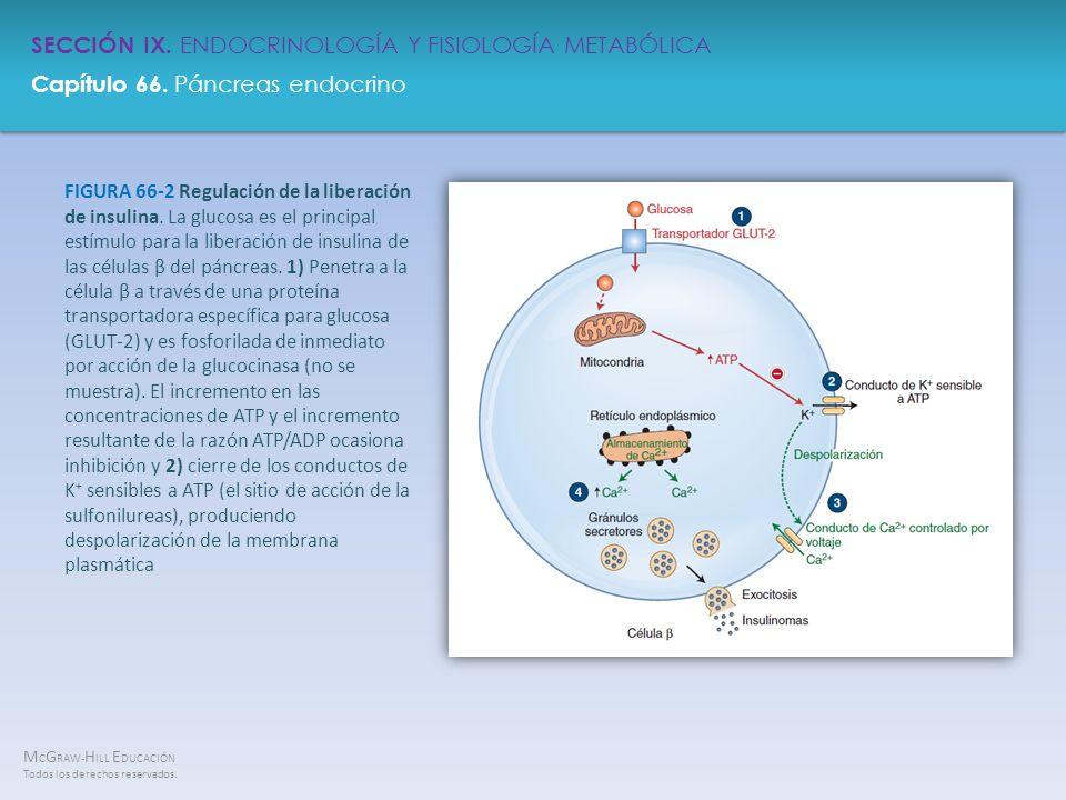 FIGURA 66-2 Regulación de la liberación de insulina