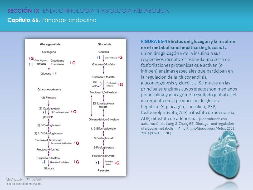 FIGURA 66-4 Efectos del glucagón y la insulina en el metabolismo hepático de glucosa.