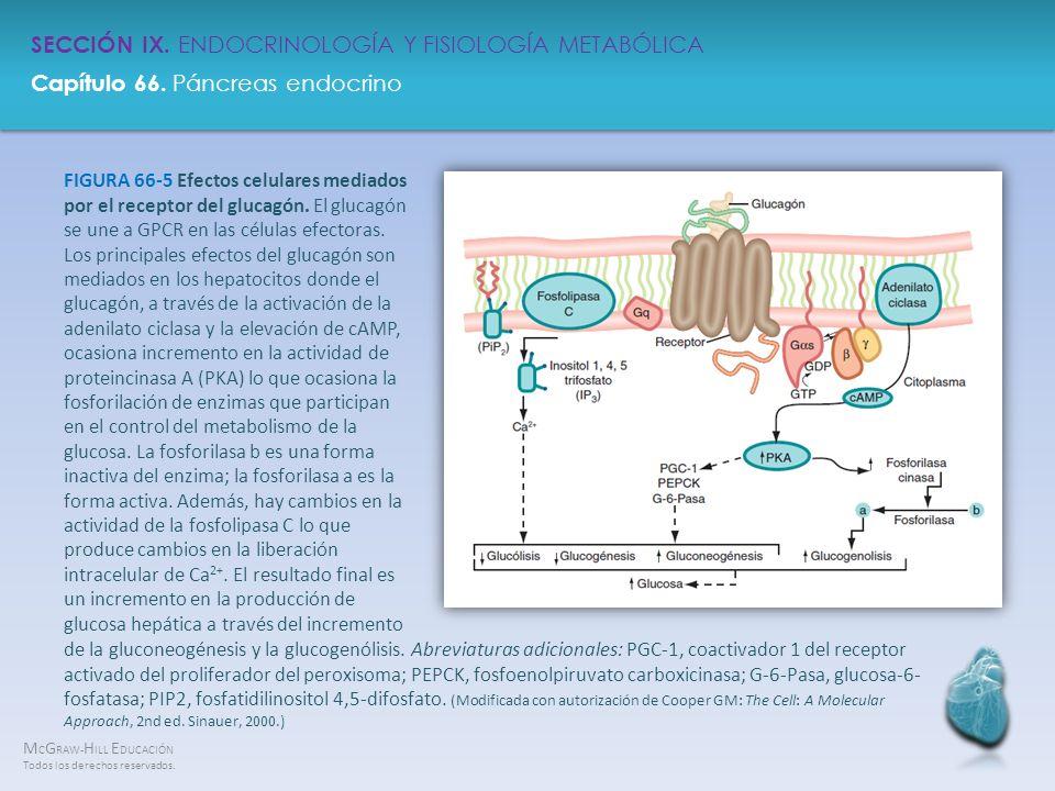 FIGURA 66-5 Efectos celulares mediados por el receptor del glucagón