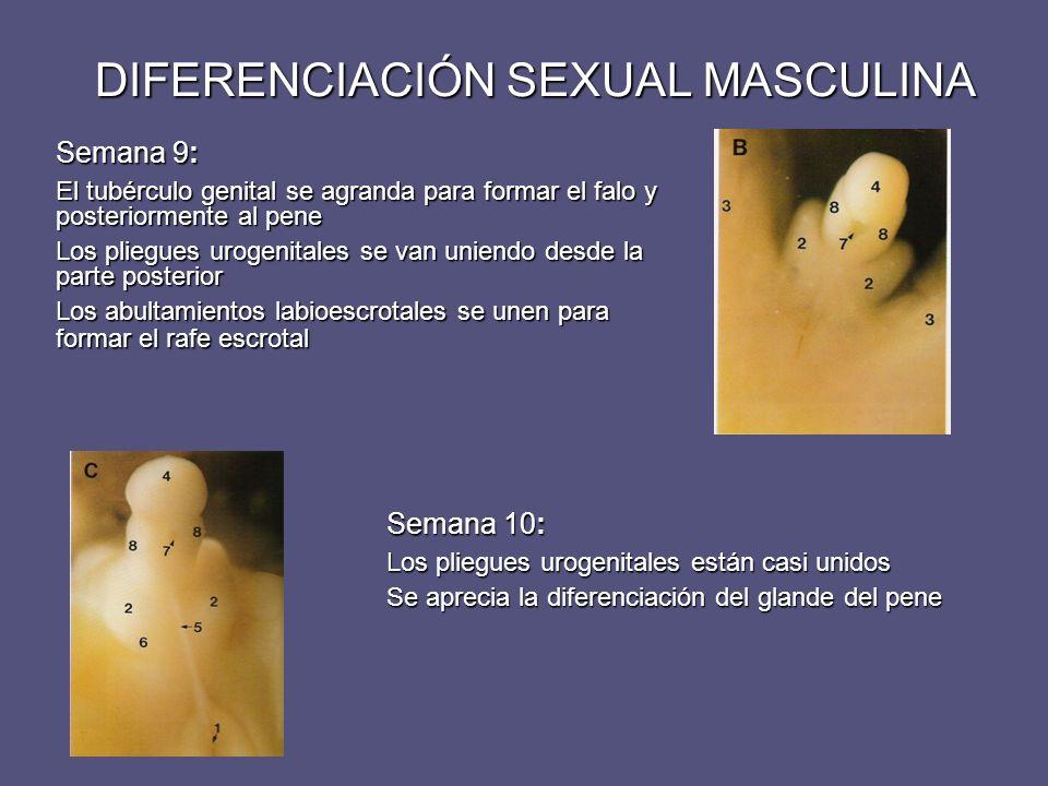 DIFERENCIACIÓN SEXUAL MASCULINA