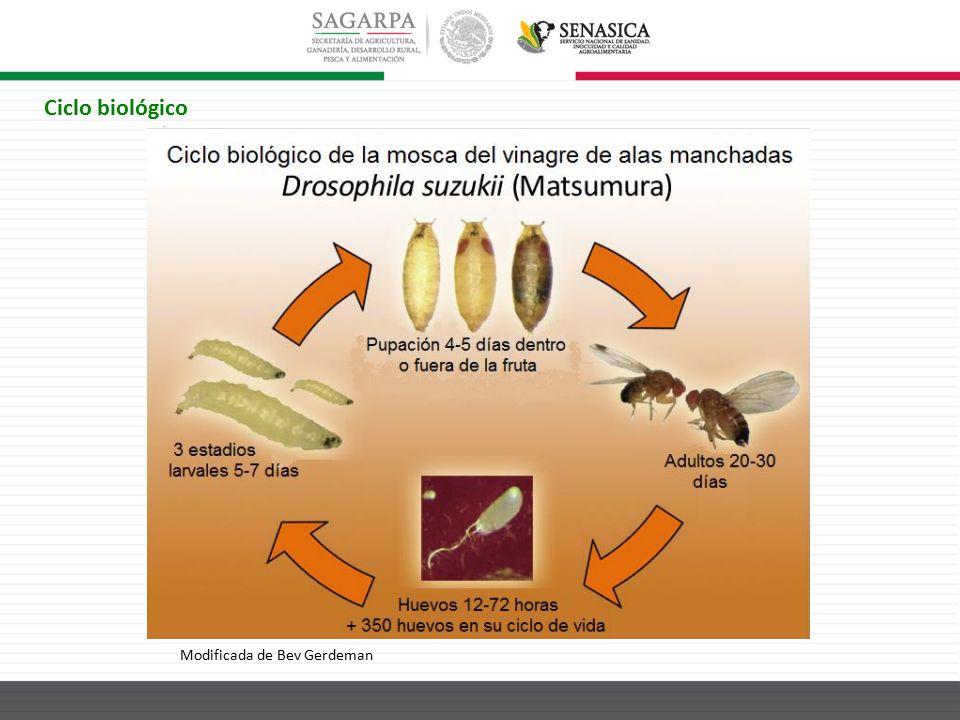 Ciclo biológico Modificada de Bev Gerdeman