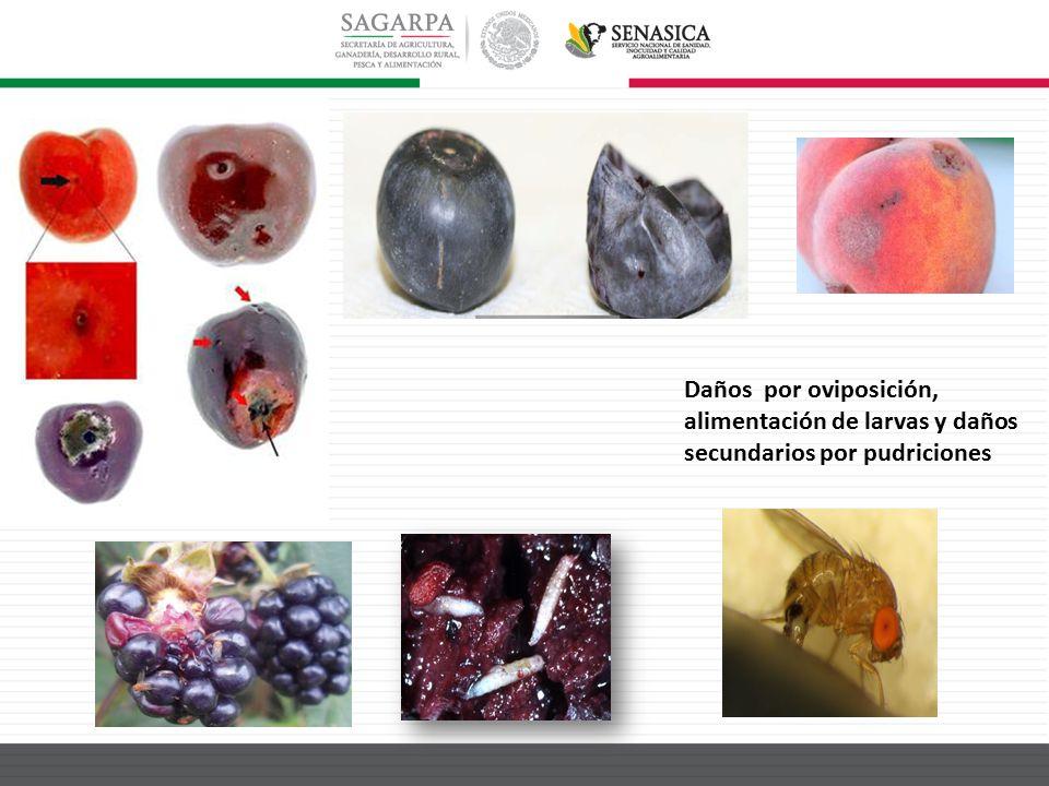 Daños por oviposición, alimentación de larvas y daños secundarios por pudriciones