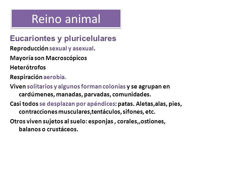 Reino animal Eucariontes y pluricelulares