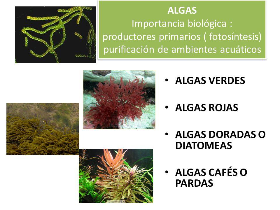 ALGAS DORADAS O DIATOMEAS