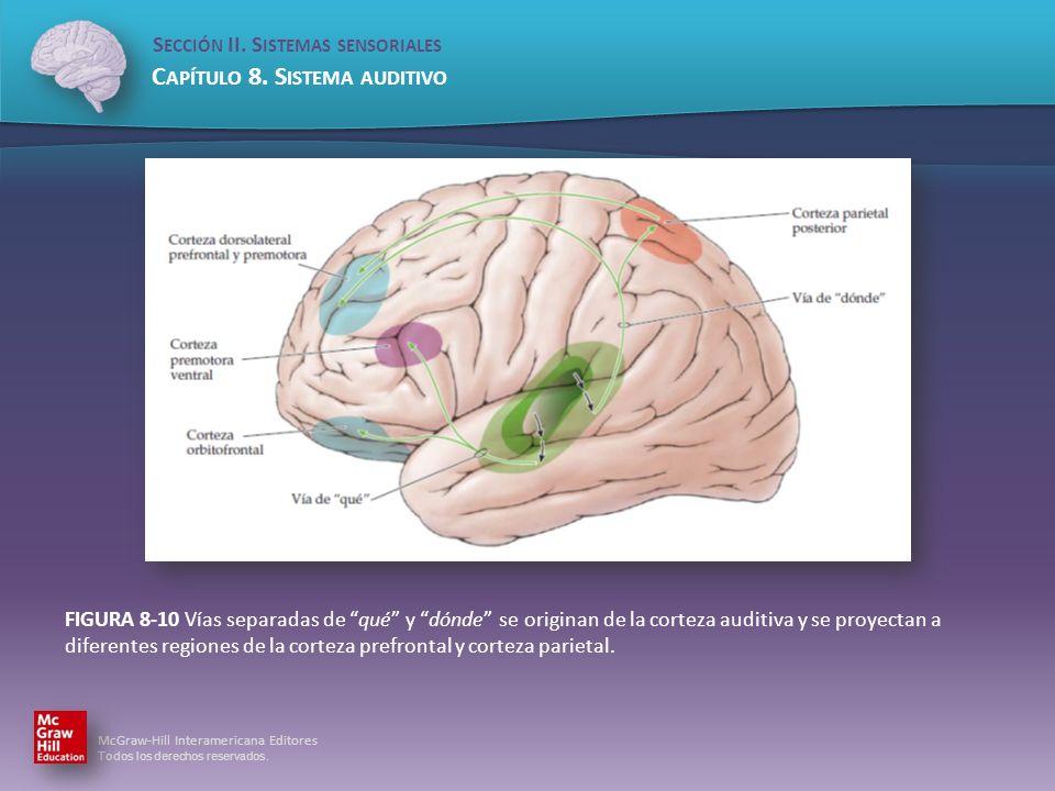 FIGURA 8-10 Vías separadas de qué y dónde se originan de la corteza auditiva y se proyectan a diferentes regiones de la corteza prefrontal y corteza parietal.